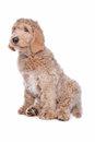 Een Labradoodle pup is zeer aantrekkelijk