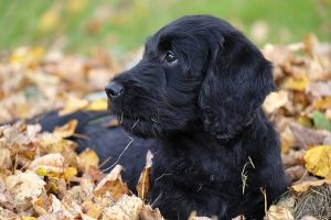 Een donkere Labradoodle