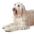De Labradoodle is een populaire hond