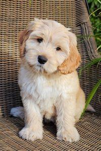 Een Australian Labradoodle pup