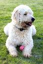 Een Labradoodle pup