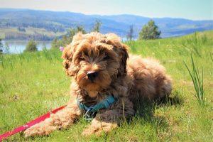 Een Labradoodle pup is een schattig en lieve hond