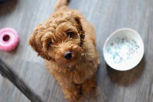 Een Labradoodle pup is een schat van een hondje